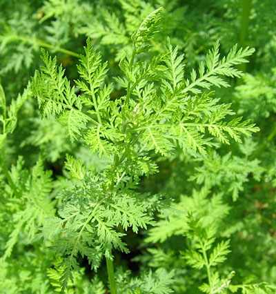 Image result for Artemisia Annua L